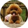 爱泰迪犬贵宾狗狗